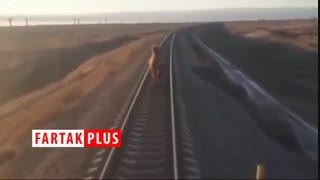 تاخیر ۴۴ دقیقهای قطار به خاطر شتر خونسرد