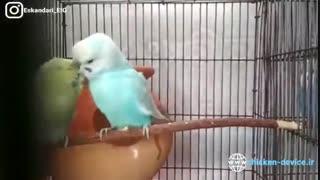 ویدیو آموزش پرورش مرغ عشق به زبان فارسی