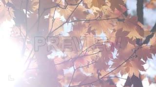 فوتیج برگهای نارنجی درخت افرا Orange Maple Leaves