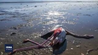 مرگ پر ابهام پرندگان مهاجر در میانکاله