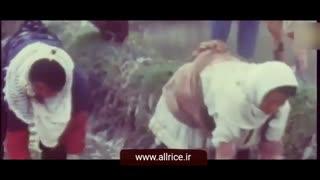 مرکز برنج ایرانwww.allrice.ir