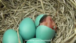 خروج جوجه از تخم در دوران هچر